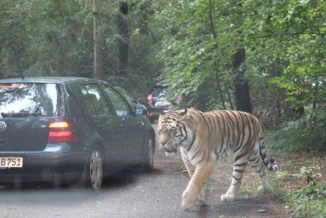 tiger, knuthenborg-safaripark
