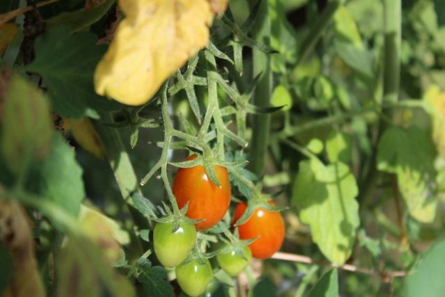 tomater, drivhus, hoestfest