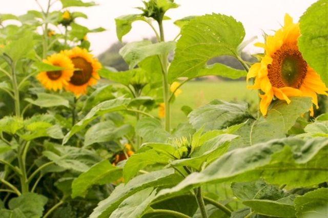 solsikker, blomster, sommer, solsikke