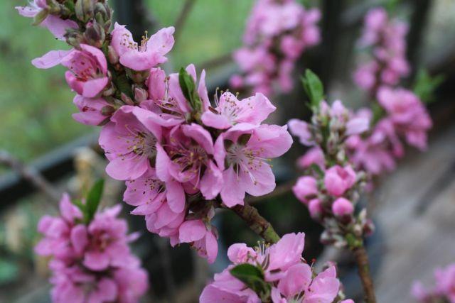 nektarintrae