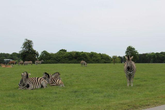 - Jeg var ikke klar over, at der findes flere forskellige underarter af zebraer, men disse skønne væsener, der ligger og nyder vejret, er -