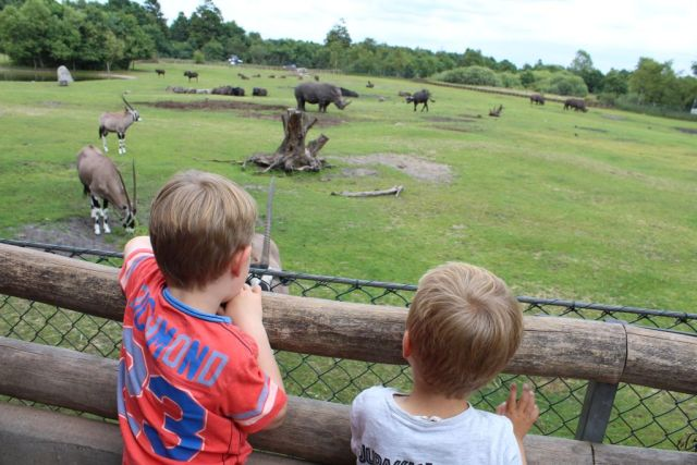 givskud-zoo, naesehorn
