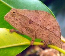 May - Matt breeds Leaf Chameleon