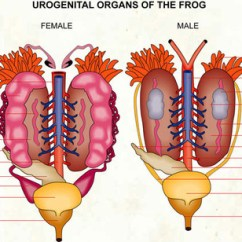 Excretory System Diagram Labeled How To Do Venn Diagrams With 3 Circles Urogenital - Frogs Vs. Tadpoles