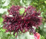 Blackcurrant Fizz self-seed