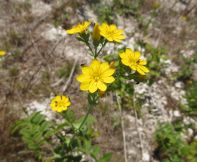 Yellow-wort - Blackstonia perfoliata