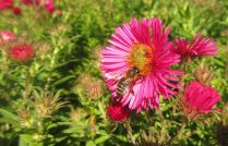 honey bee and aster flowers
