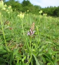 Common spotted orchid with cowslip seed heads