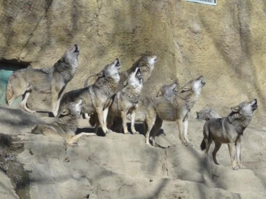 オオカミのコーラス隊