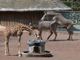 多摩動物公園のキリンとシマウマ
