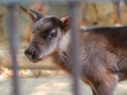 多摩動物公園の仔トナカイ