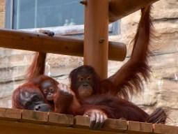 多摩動物園のオランウータンファミリー