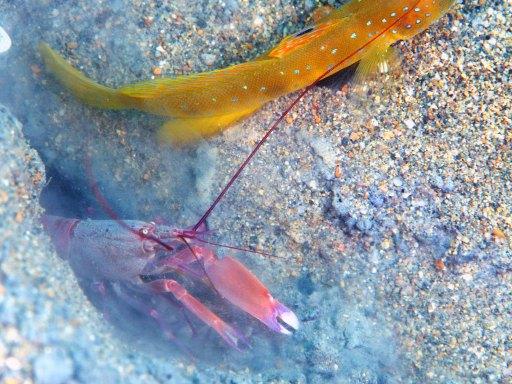 リロアンのBlue-Tailed ShrimpGobyと共生エビ