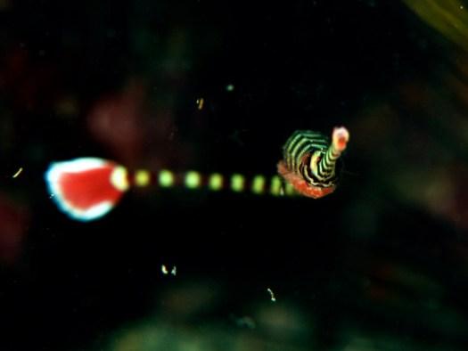 Ringed pipefish(オイランヨウジ)