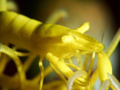 Slender crinoid shrimp