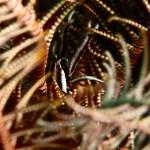 Elegant crinoid squat lobster