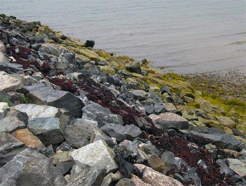 Jonesport seaweed