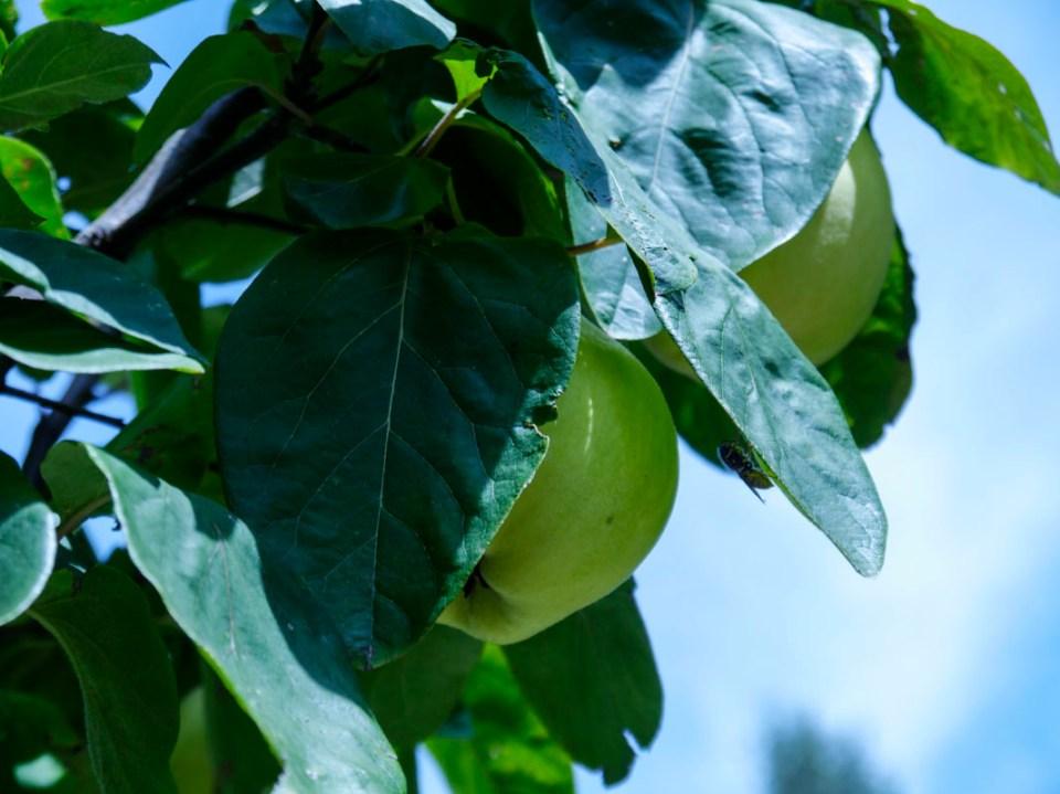 Turkish quince hiding amongst the greenery