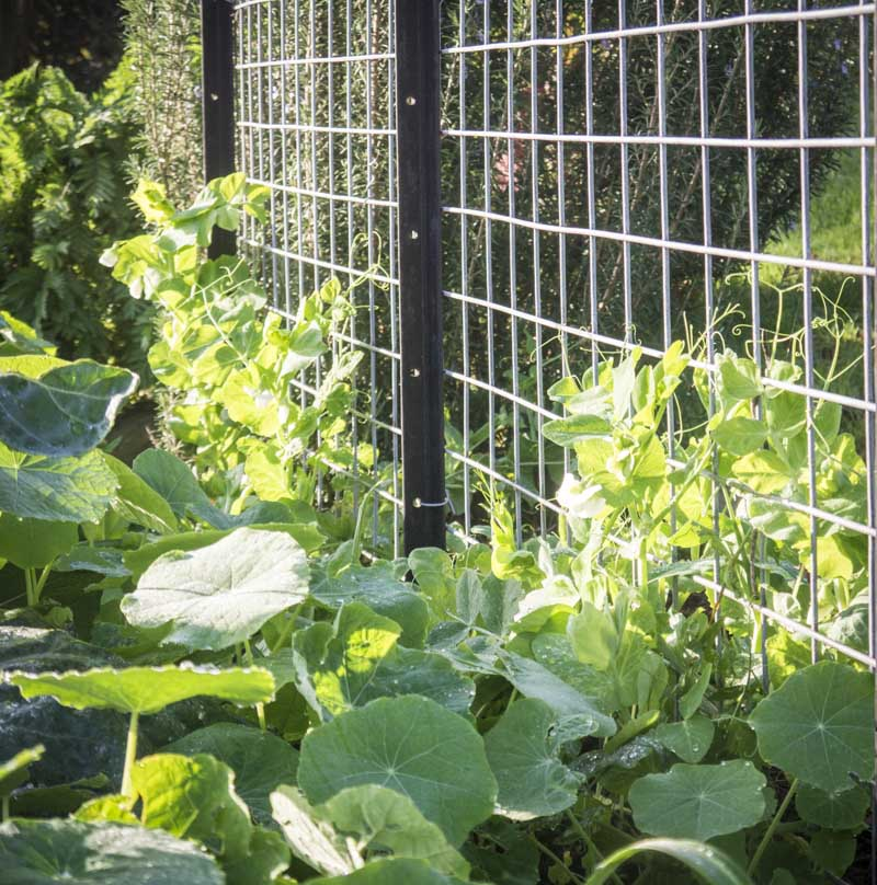 My peas are flowering .. watch out for the nasturtium