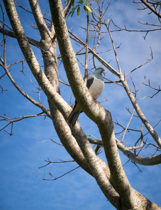 New Zealand wood pigeon .. enjoying the sunshine