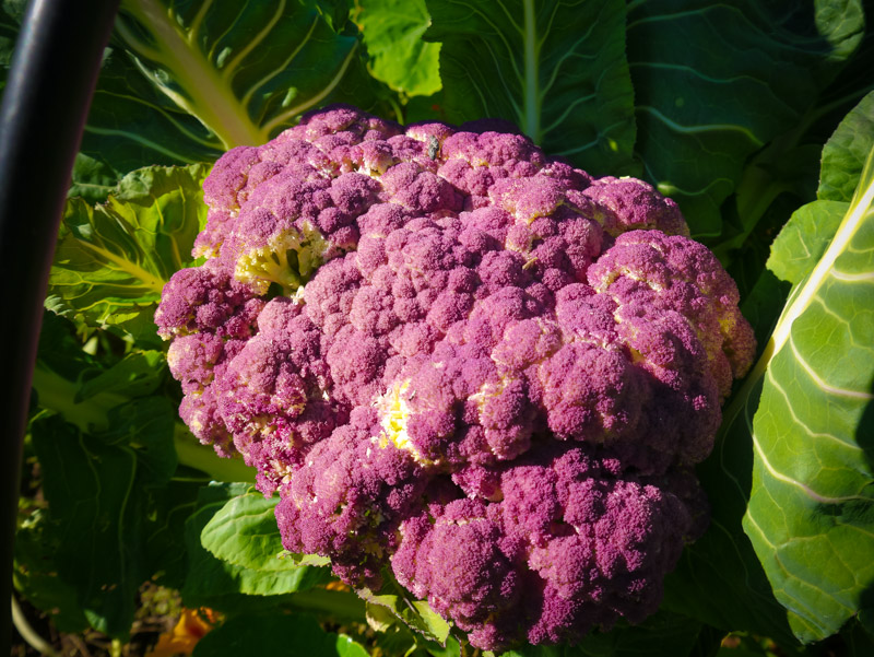 So very tasty ... Sicillian cauli
