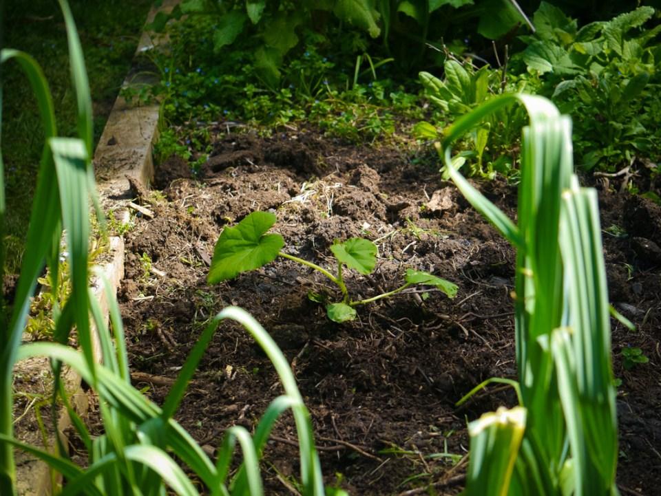 A very happy Turban pumpkin in the secret garden .. self seeded elephant garlic up front!