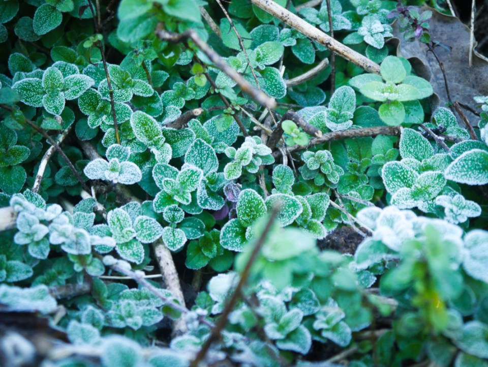 frost on oregano