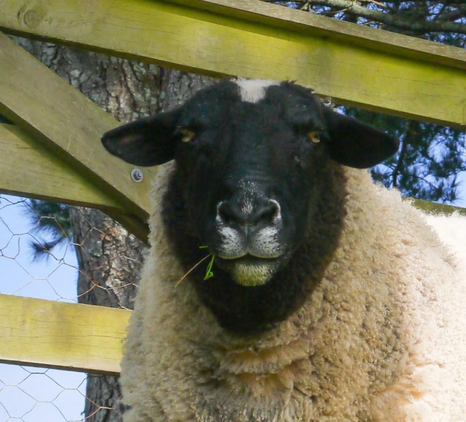 dorpa-sheep