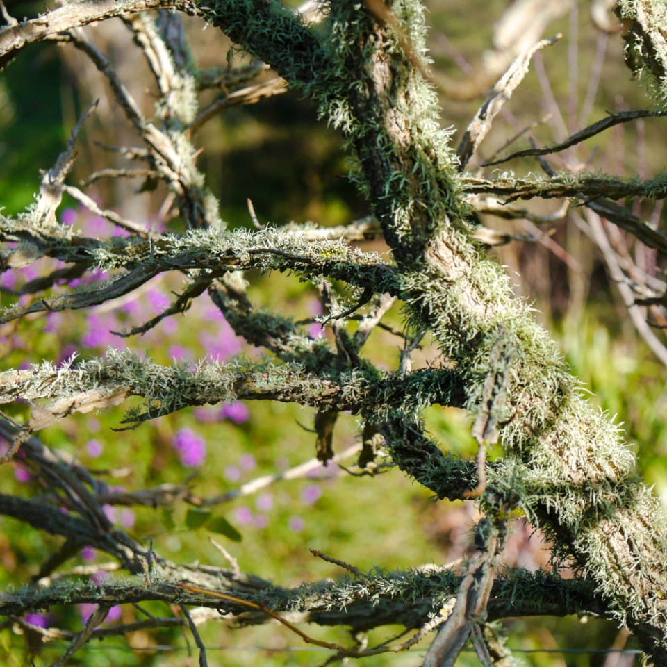 lichen-growing-on-liquid-amber