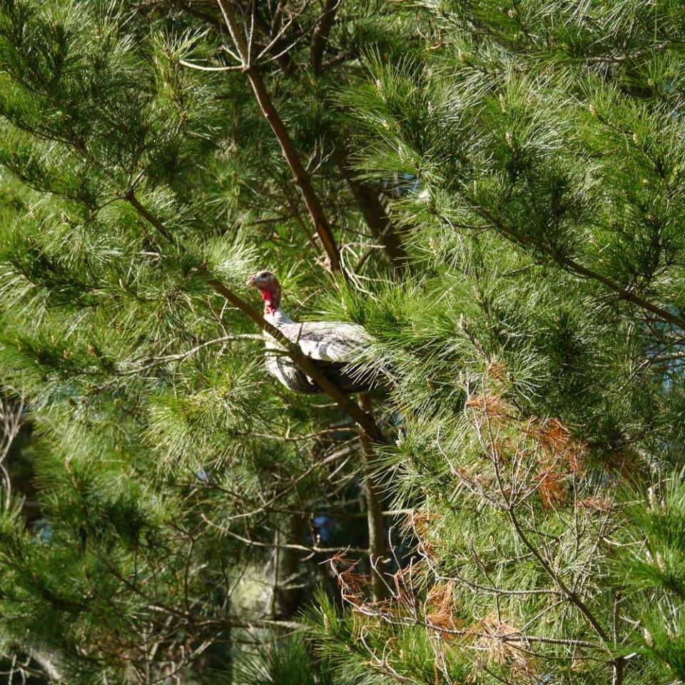 turkey-up-pine-tree
