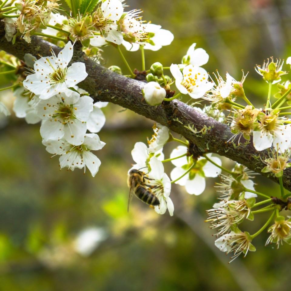 plum-blossom-1080652
