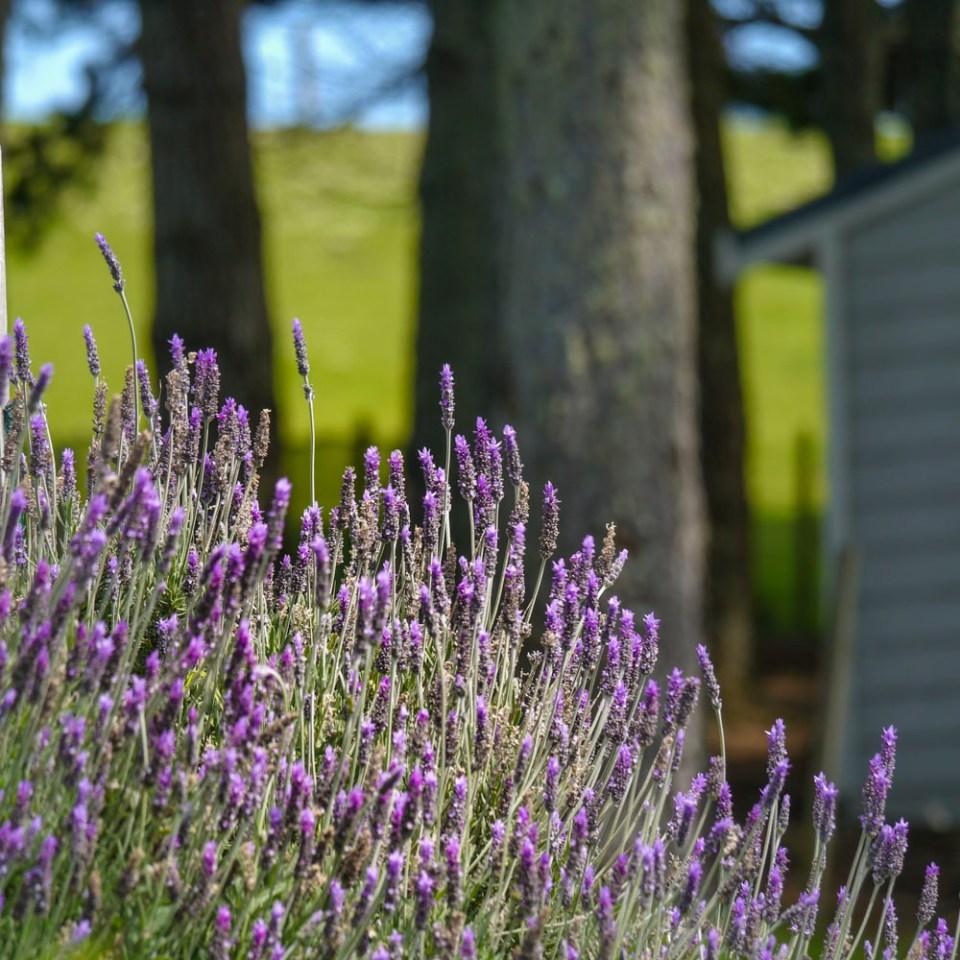 lavender-1080779