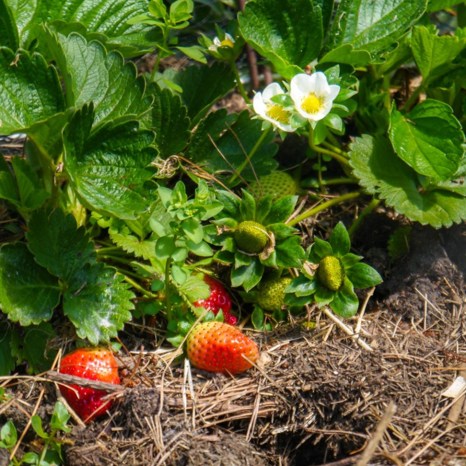 strawberries-1080838