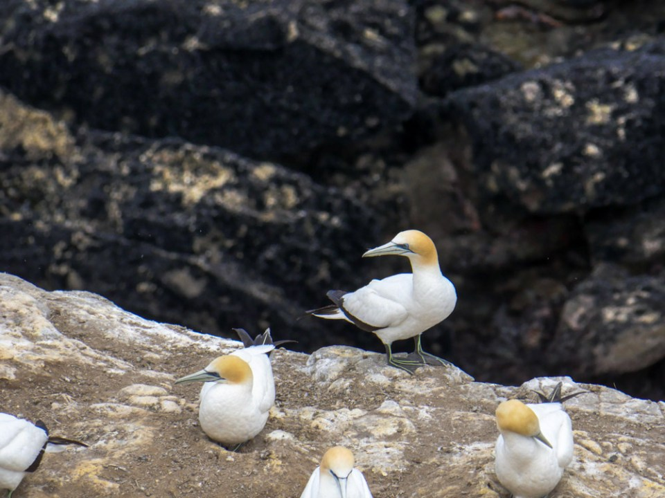 gannets-1100400
