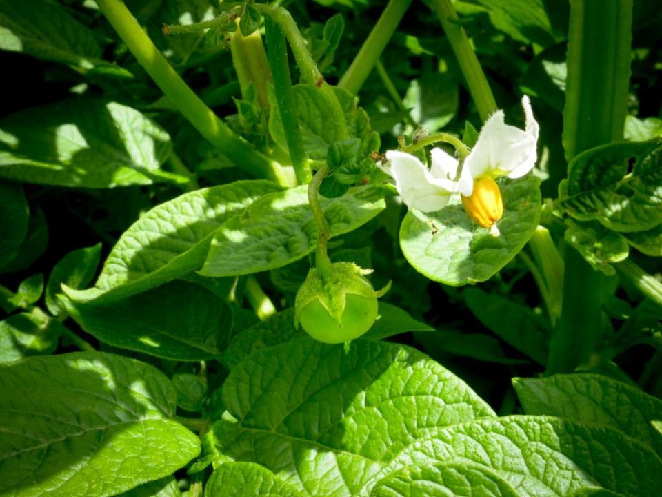 fruit of the potato plant