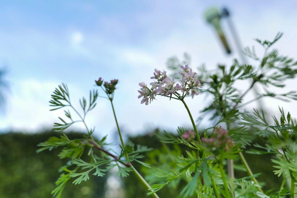 coriander-flowers-1160072