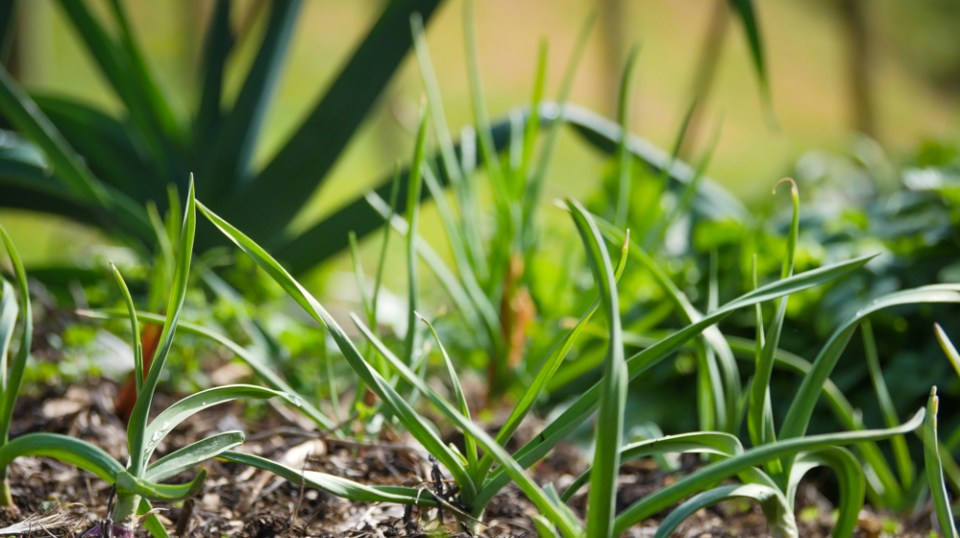 garlic-leeks-1160006
