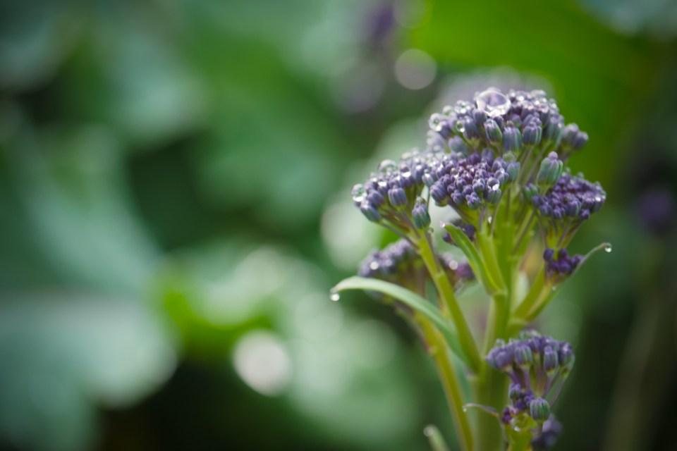 broccoli-1180158