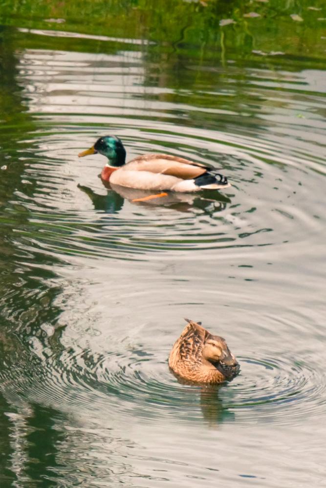 ducks on the pond-1180240