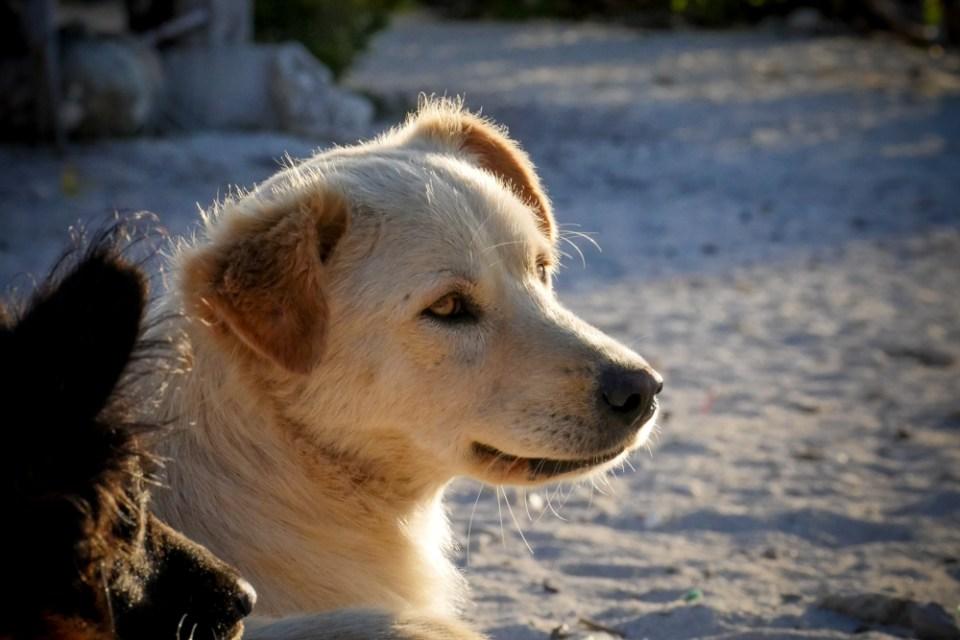 island_dogs-1170237