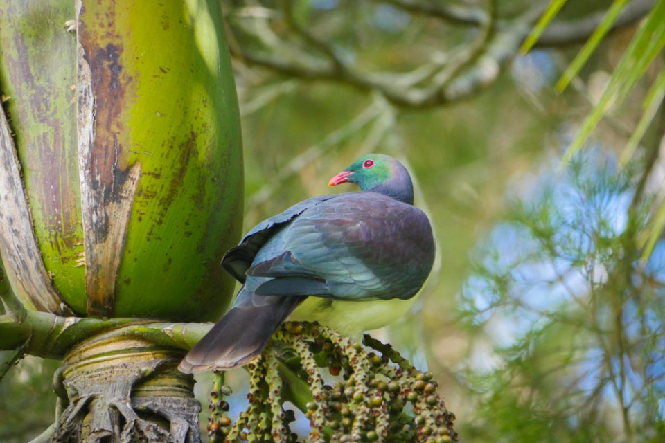 wood pigeon-1180383