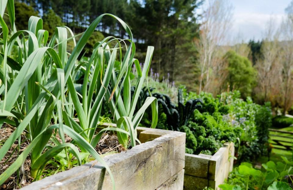 garlic raised beds-1180972