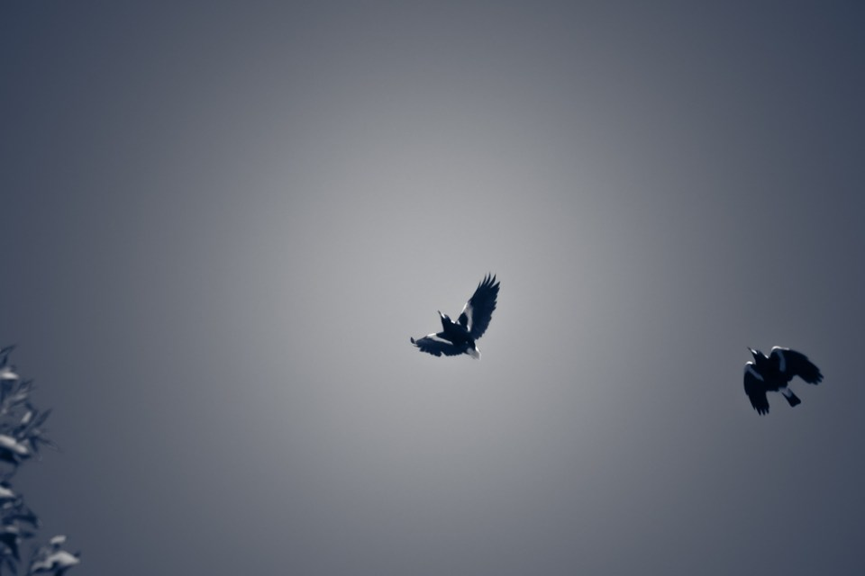 magpies-1180730