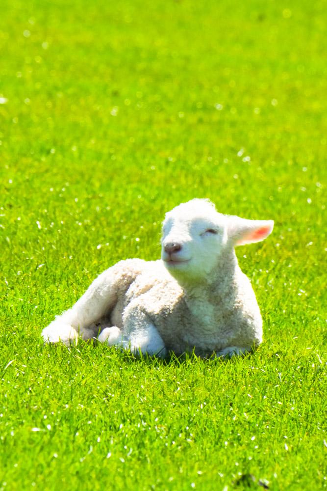 smiling lamb-1180623