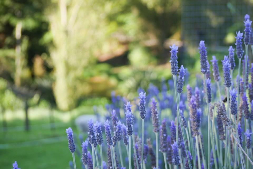 Lavender-1190307