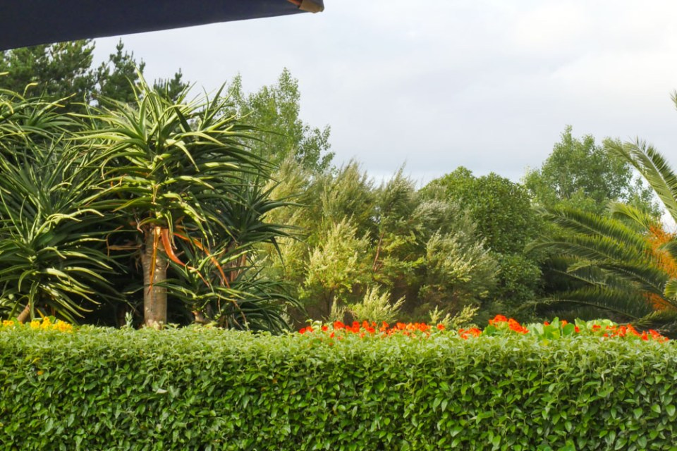 norfolk hibiscus hedge-1200133