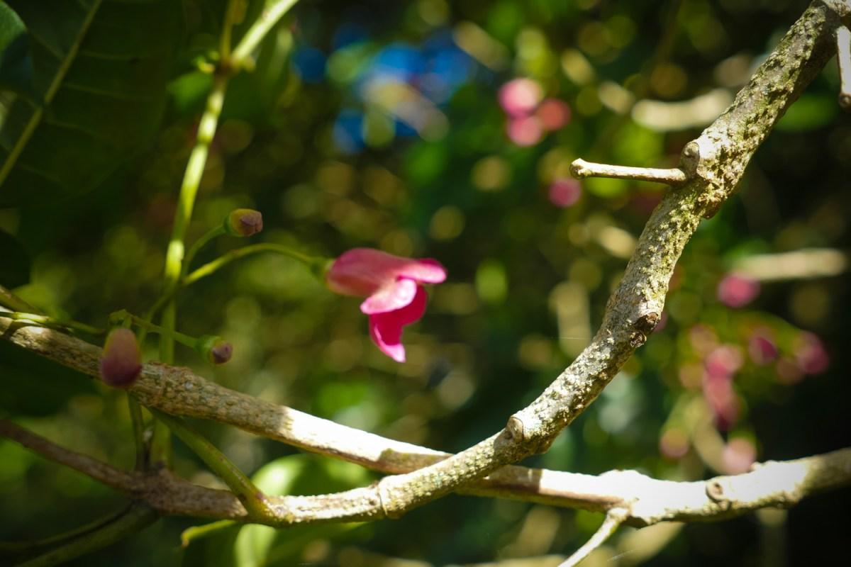 pink puri puri blossom
