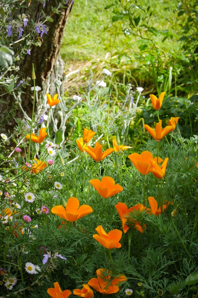 poppies-1190657