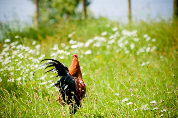 rooster-1280563