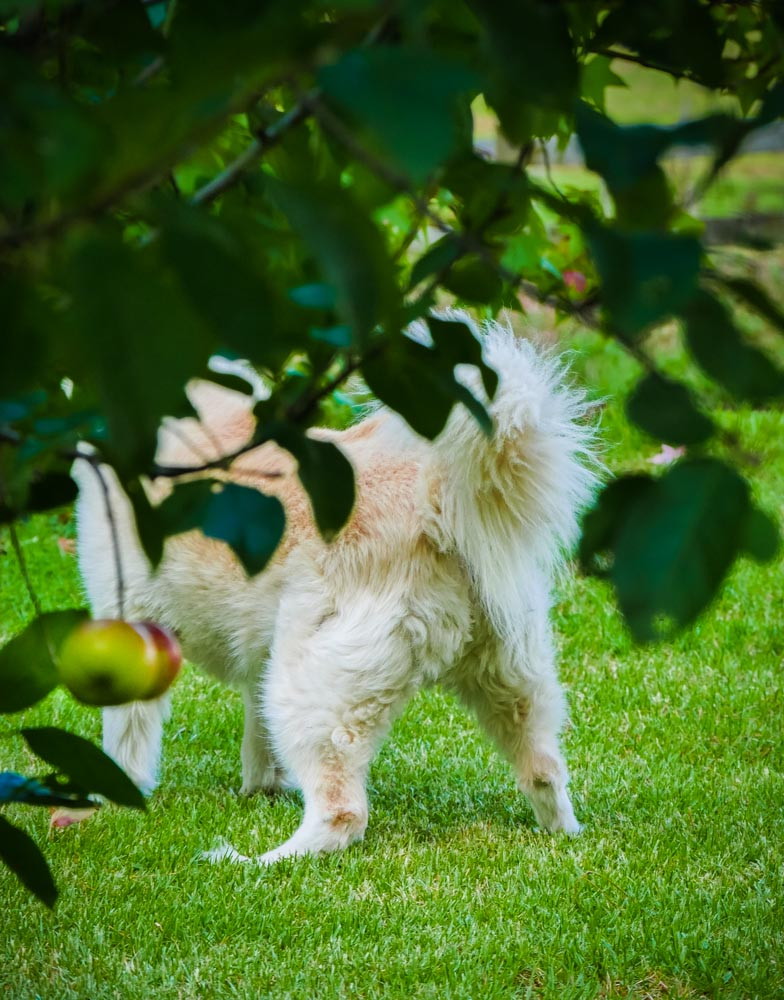 dog-in-orchard